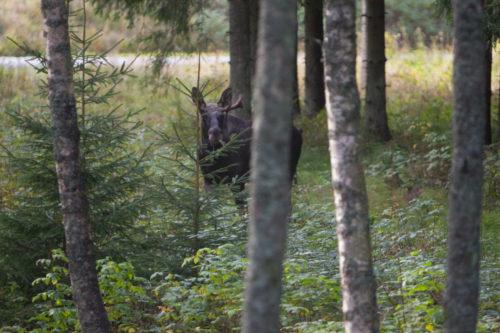 Der König der Wälder | © Fredrik Broman/imagebank.sweden.se